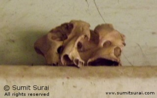 Skulls of the tigers